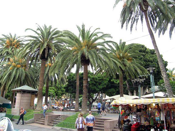 palmeras situadas en la plaza del charco de la localidad tinerfeña.